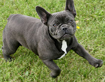 Meet French Bulldog Crosby our Solid Blue Female